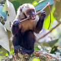 Capuchin Monkey Chewing On A Stick by Jess Kraft