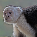 Capuchin Monkey by Larry Linton