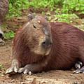 Capybara by Aivar Mikko