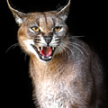 Caracal Hissy Fit by Wes and Dotty Weber