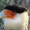 Caracara Bird by FL collection