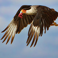 Caracara In Flight by Jerry Fornarotto