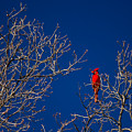 Cardinal Against Blue Sky by Austin Photography