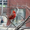 Cardinal Amid The Twigs by Bill Hughey