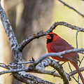 Cardinal Among The Branches by Douglas Barnett