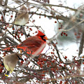 Cardinal And Cedar Wax Wing  by Betty Pauwels