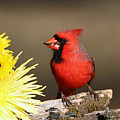 Cardinal And Chrysanthemums by Sheila Brown