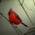 Cardinal And The Setting Sun by Jenny Gandert