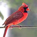 Cardinal by Angela Murdock