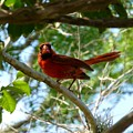 Cardinal by As the Dinosaur Flies Photography