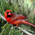 Cardinal Attitude by Debbie Oppermann