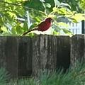 Cardinal by Barb Montanye Meseroll
