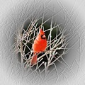 Cardinal Centered by MTBobbins Photography