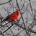 Cardinal Colorized by David Dunham