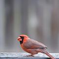 Cardinal Colors by Christopher Saleh