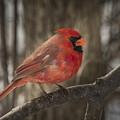Cardinal by David Hook