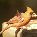 Cardinal by Diane Schuler