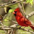 Cardinal  by Douglas Milligan