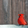 Cardinal Drinking by Edward Peterson