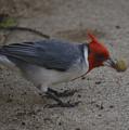 Cardinal Examining Food by Karen Rose Warner