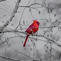Cardinal Grey by Erich Grant