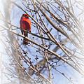 Cardinal I by Gary Adkins