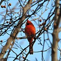 Cardinal II by Jai Johnson