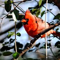 Cardinal IIi by Jai Johnson