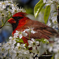 Cardinal In A Pear Tree by Barbara Bowen
