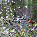 Cardinal In Flowering Tree by David Arment