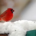 Cardinal In Snow by Clayton Bruster