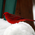 Cardinal In Snow II by Clayton Bruster