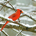 Cardinal In Snow by Laura D Young