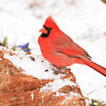 Cardinal In Snow by Reecie Steadman