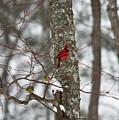 Cardinal In Snow Storm by Douglas Barnett