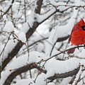 Cardinal In The Snow 3 by Robert Ullmann