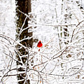 Cardinal In The Snow by Charles Bacon Jr
