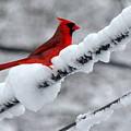 Cardinal In The Snow by Lennie Malvone