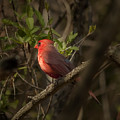 Cardinal In The Spotlight by Gary Adkins