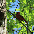 Cardinal In The Springtime by Laura Birr Brown