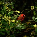 Cardinal In The Trees by Joseph Rainey