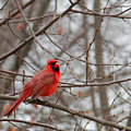 Cardinal In The Winter by Angela Murdock