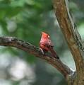 Cardinal In Tree by Carol Groenen