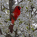 Cardinal In White Blossoms by Barbara Bowen