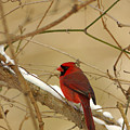 Cardinal In Winter by John Harmon