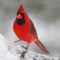 Cardinal In Winter by Sue Feldberg