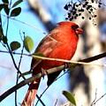 Cardinal by Jai Johnson