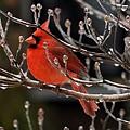 Cardinal by Jimmy Marlow