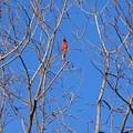 Cardinal by Karen Capehart