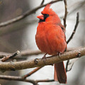 Cardinal by Laurie Pocher